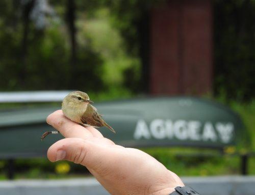 """Pitulice inelată de ornitologii din Finlanda, capturată la Stațiunea Biologică Marină """"Prof. Dr. Ioan Borcea"""" din Agigea"""